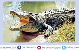 वारणा नदीकाठी शेतक-यांवर मगरीचा हल्ला; बैलाने वाचविला मालकाचा जीव