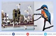 रंकाळा तलावांवर पक्षी गणना; 13 प्रजातींचे पक्षी हे परदेशी