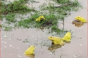 वसईच्या नवाळे गावात साचलेल्या पावसाच्या पाण्यात आढळून आले पिवळे बेडूक...