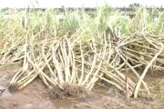 पंढरपूरात अतिवृष्टीमुळे 30 हजार हेक्टर पिकांचे नुकसान