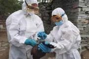 Bird flu: रत्नागिरी आणि कोल्हापुरात पक्षी मृतावस्थेत
