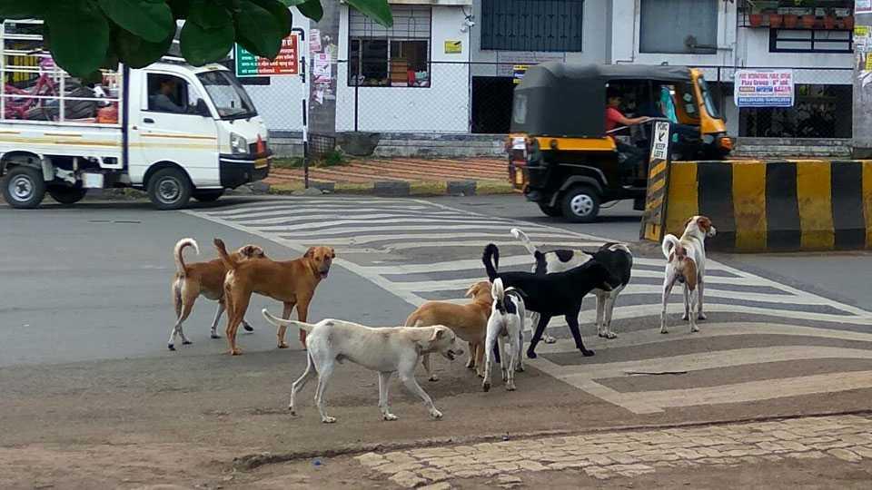 पिंपरी चिंचवडमध्ये मोकाट कुत्र्याचा हैदोस